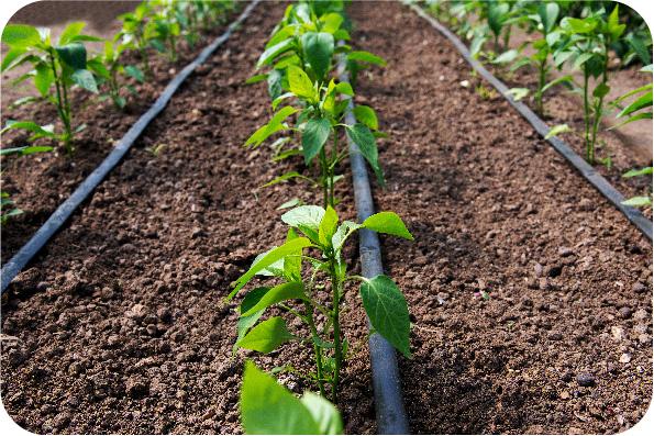 Druppelbevloeiing wordt in het beregeningsplan onder andere gebruikt voor dichtbegroeide tuinborders.